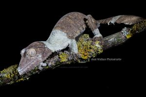 Uroplatus by AngiWallace
