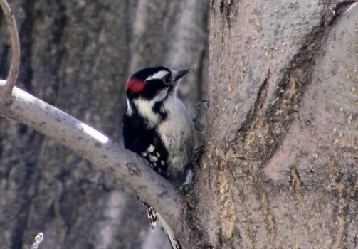 Downy Woodpecker by artoid