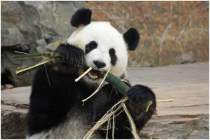 Munch That Bamboo by tamedwhiskers