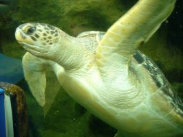 Green turtle (1) by artjuggler