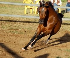 JA Arab bay powerful canter at camera by Chunga-Stock