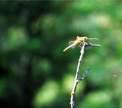Dragonfly by Bre-G