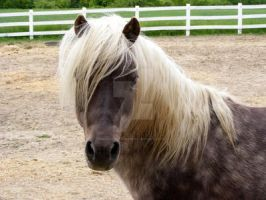 Shetland-Welsh X 24 by EquineStockImagery