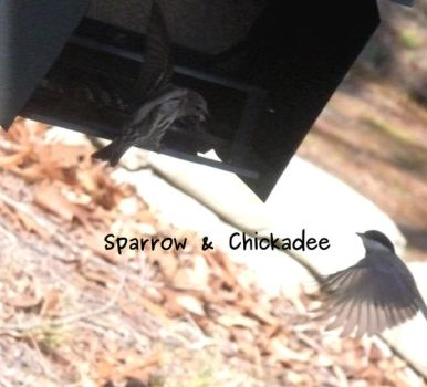 Sparrow Chick Fight by dgpc4ever