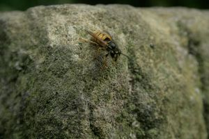 wasp on a rock by Joezf
