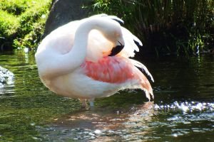 Flamingo preening 1 - Maui by wildplaces