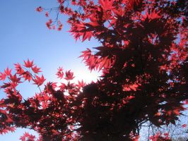 Red Maple by Umi-No-Tenshi