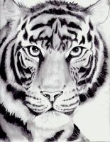 my tiger drawing by kittycat727