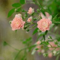 spring roses by rigallise