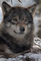 wolf face by Sam2103