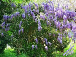 Beautiful Wisteria by jim88bro