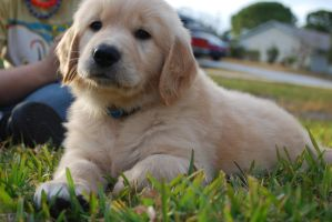 Golden Retriever Puppy by Kristennicoleee