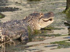 Alligator2 by Polly-Stock