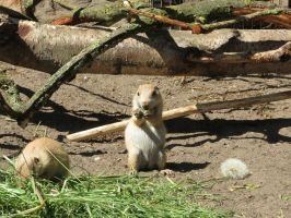 young Marmot 7 by mrscats