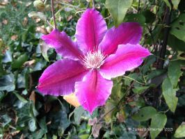 Clematis - Doctor Ruppel by jim88bro