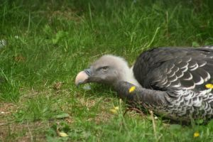 Vulture at Linton by tammyins