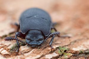 Angry Beetle by melvynyeo