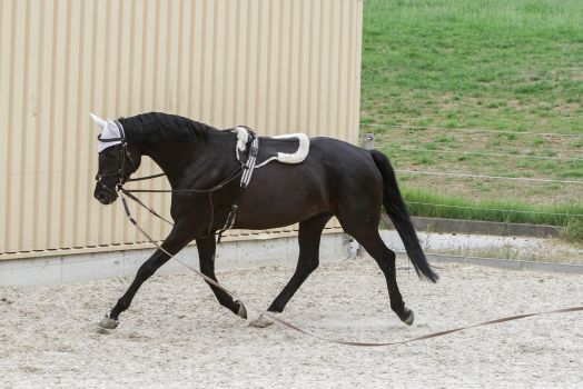 how to teach a horse to free lunge