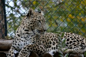 Persian Leopard III by MorganeS-Photographe