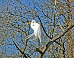 Great Egret by netta43