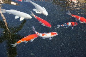 Koi Fish III by GreenEyezz-stock