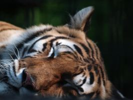 sleeping tiger by tigerallied