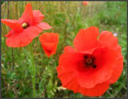 Poppies by weelise