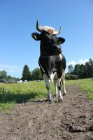 holstein cow with a hat by purstotahti