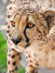 Zoey the Cheetah by AEisnor