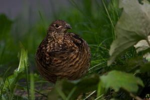Ruffed Grouse on the Ground by LInconnu24