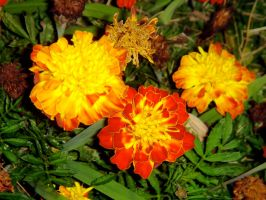 Marigolds by RemnantMemory