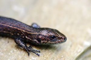 .young lizard. by efeline