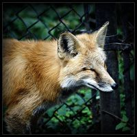 Red Fox by Karl-B