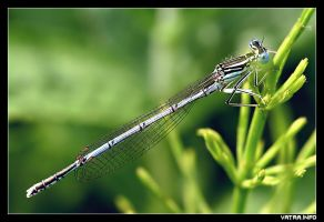 Dragon Fly by IvanAntolic