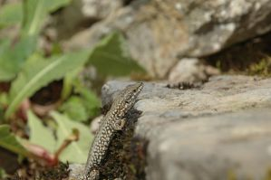Another Skink by turlough