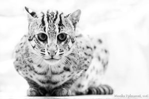 Fishing Cat in White by amrodel
