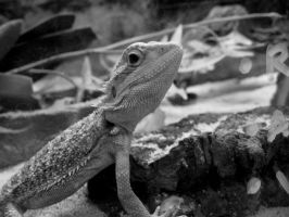Beardie 1 by tooterfish-popkin