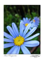 Blue Marguerite by DistantVisions