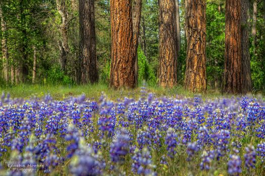Lupine Forest by LeashaHooker