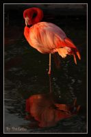 Flamingo At Sunset by shutterbugmom