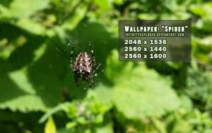 Wallpaper: Spider by infinityexplorer