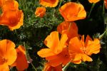 Poppies by fl8us-stock