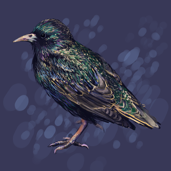 European Starling by SimoneMorgan