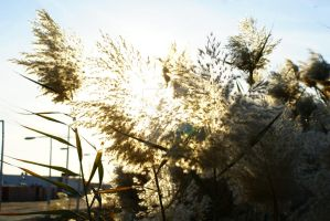 Blooming Reeds by cecphotography