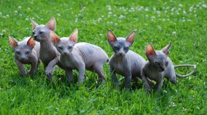 Sphynx litters by fabuli