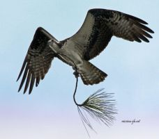 osprey with branch again by Aries18o18