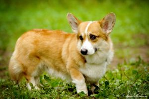 Welsh Corgi by T-Solnechnaya