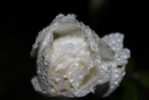 Midnight white rose with water droplets by S-C-H-B-L