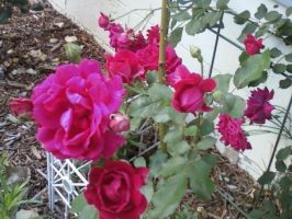Pretty pink roses by Midnight--Comet