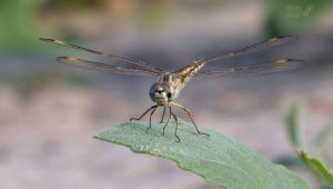 A morning of Dragonflies 3 by Tomer-DA